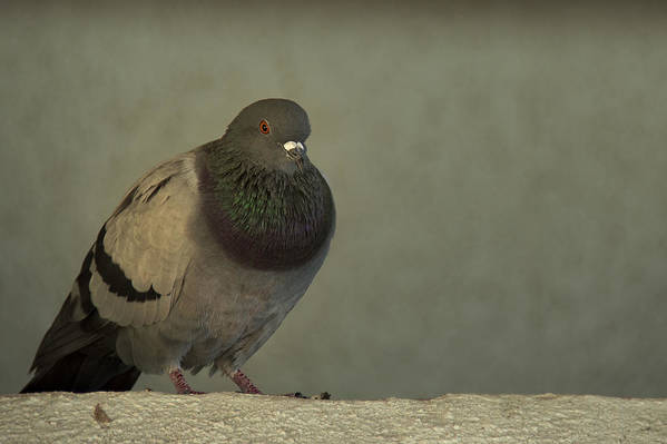 Pigeon Poster featuring the photograph Lonely by Mario Celzner