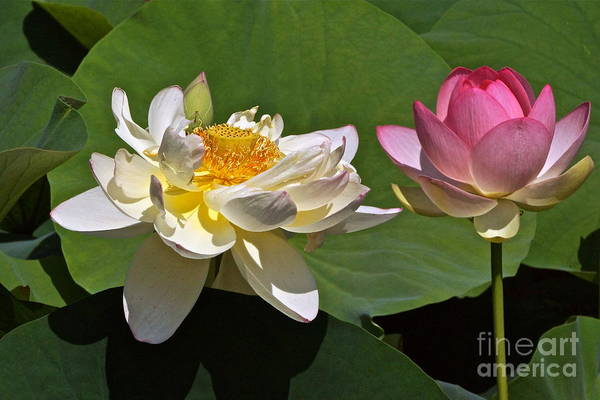 Lotus Hybrids Poster featuring the photograph Lotus Pink -- Lotus White And Gold by Byron Varvarigos