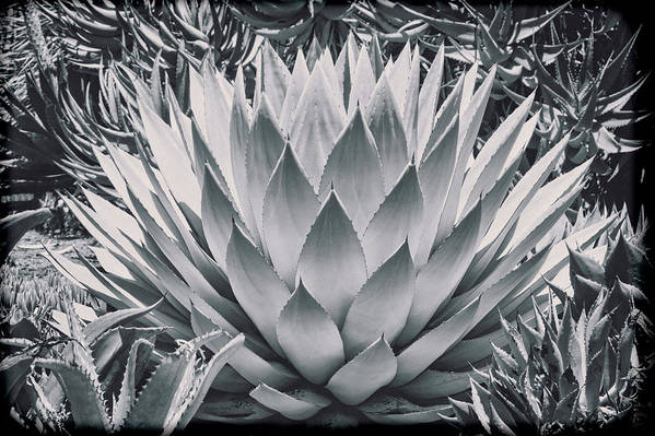 Cactus Poster featuring the photograph Mescal Agave by Kelley King
