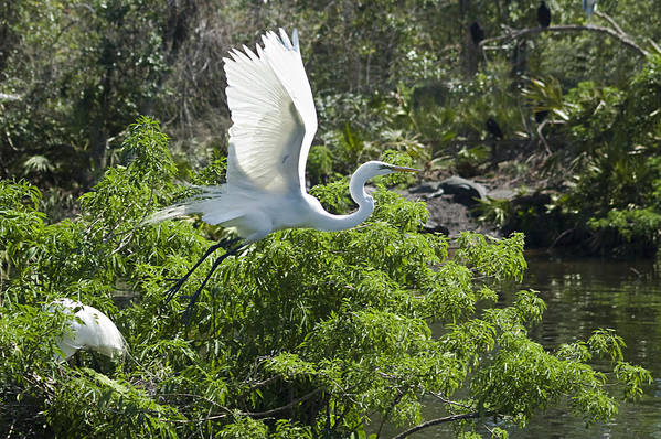 Great White Egrets Poster featuring the photograph Need More Branches by Carolyn Marshall