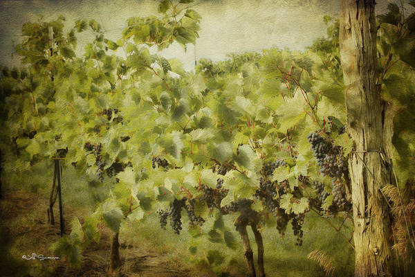 Grapes Poster featuring the photograph Purple Grapes On The Vine by Jeff Swanson