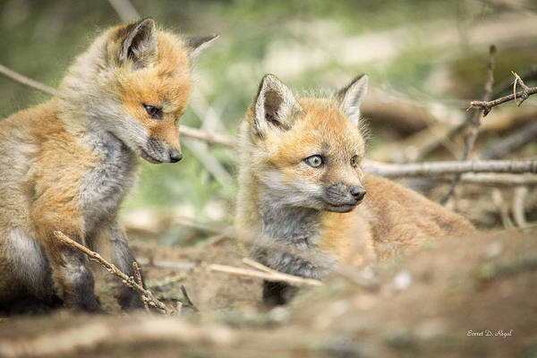 Red Poster featuring the photograph Red Fox Kits by Everet Regal
