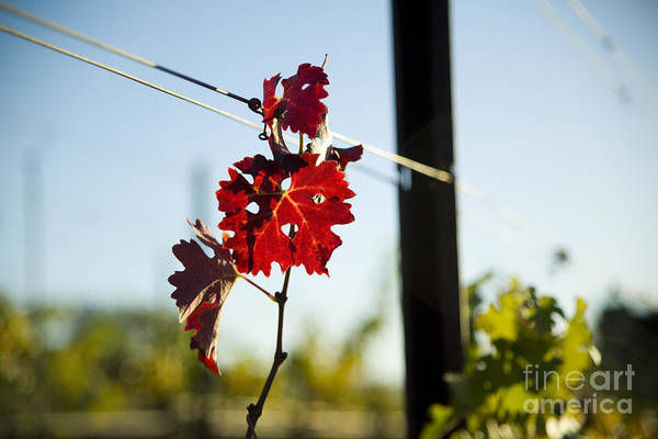 California Poster featuring the photograph Red Grape Leaves by Charmian Vistaunet