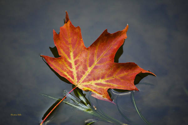 Autumn Leaves Poster featuring the photograph Red Sugar Maple Leaf by Christina Rollo