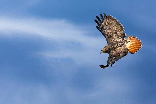Redtail Hawk Poster featuring the photograph Red Tailed Hawk Soaring by Bill Wakeley