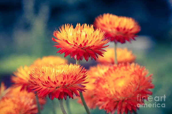 Everlasting Strawflower Poster featuring the photograph Release My Voice by Sharon Mau