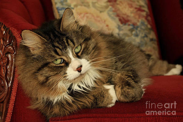 Rescue Poster featuring the photograph Rescue Cat Living In The Lap Of Luxury by Inspired Nature Photography Fine Art Photography
