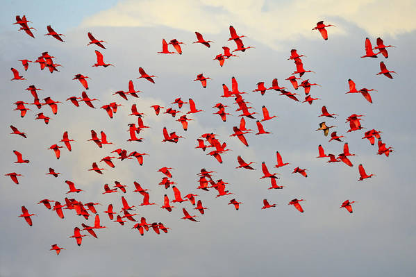 Scarlet Ibis Poster featuring the photograph Scarlet Sky by Tony Beck