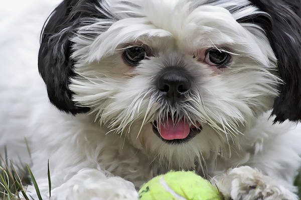 Dog Poster featuring the photograph Shih Tsu And Ball by Stephen Bonk