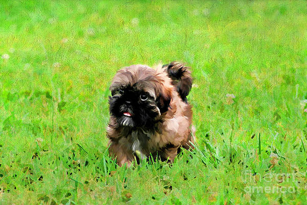 Painterly Poster featuring the photograph Shih Tzu Puppy by Darren Fisher