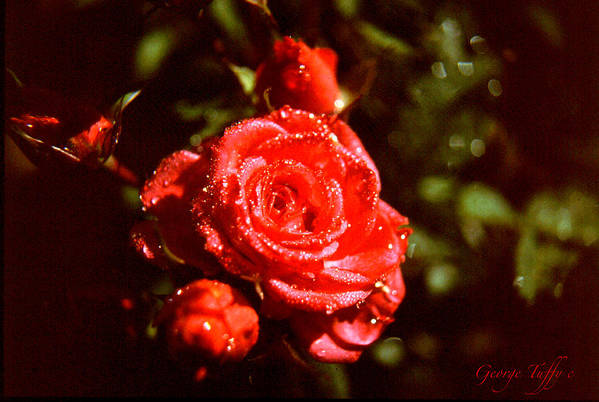Sparkling Glittering Dew Rose Nature Garden Colorado Rocky Mountains Simple Flowers Poster featuring the photograph Sparkling by George Tuffy