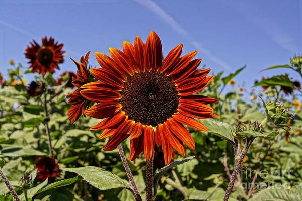 Agriculture Poster featuring the photograph Sunflower Sky by Kerri Mortenson