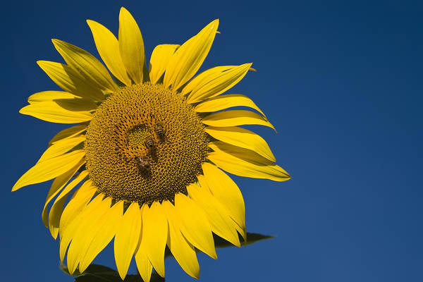 3scape Photos Poster featuring the photograph Three Bees And A Sunflower by Adam Romanowicz