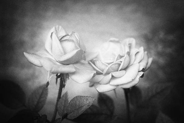 Roses Poster featuring the photograph Twins by Nataly Rubeo
