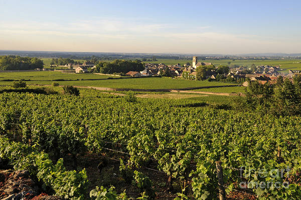 Agriculture Poster featuring the photograph Vineyard And Village Of Pommard. Cote D'or. Route Des Grands Crus. Burgundy.france. Europe by Bernard Jaubert