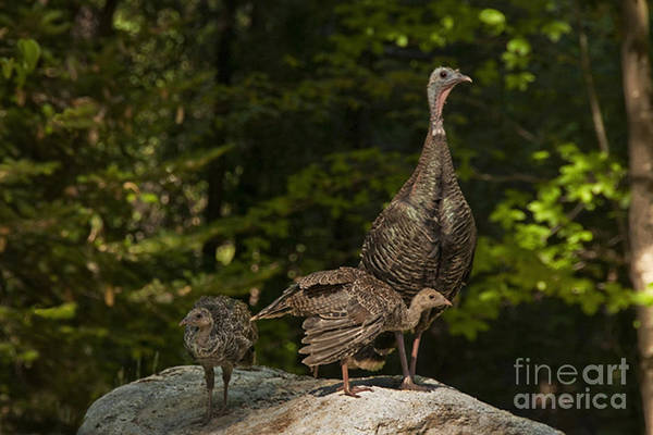 Animal Poster featuring the photograph Wild Turkey And Chicks by Ron Sanford
