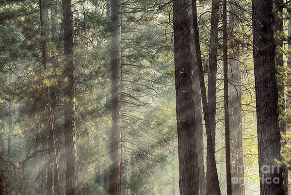 Beams Poster featuring the photograph Yosemite Pines In Sunlight by Jane Rix