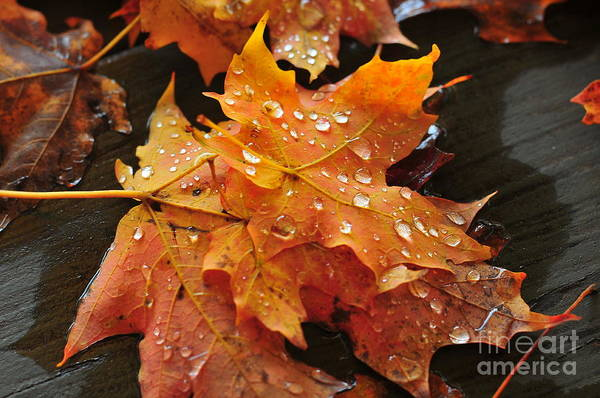 New Hampshire Foliage Poster featuring the photograph You Waited For Me To Fall by Catherine Reusch Daley