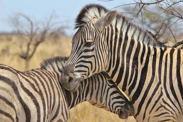 Zebra Poster featuring the pyrography Zebra Bite Of Love by Hermanus A Alberts