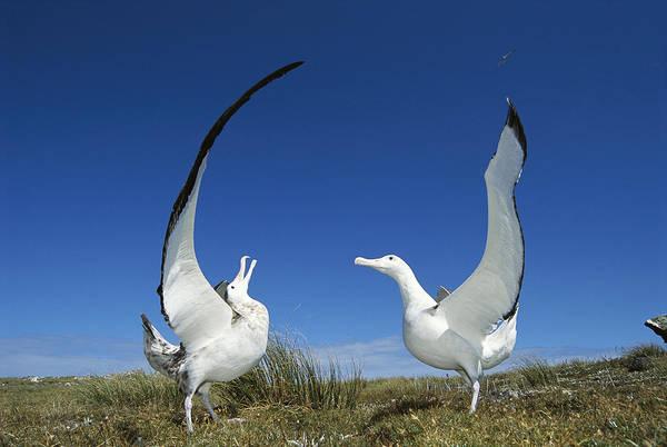 Mp Poster featuring the photograph Antipodean Albatross Diomedea by Tui De Roy
