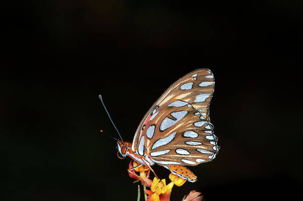 Horizontal Poster featuring the photograph Gulf Fritillary Butterfly by Jim McKinley