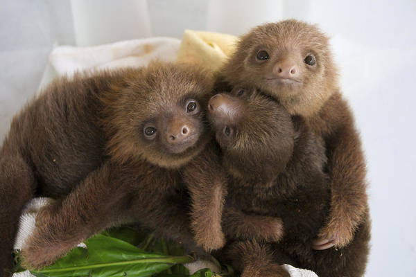 Mp Poster featuring the photograph Hoffmanns Two-toed Sloth Choloepus by Suzi Eszterhas