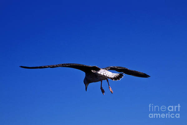 Animal Poster featuring the photograph Seagull In Flight by John Greim