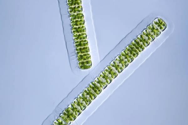 Algae Poster featuring the photograph Green Algae, Light Micrograph by Frank Fox