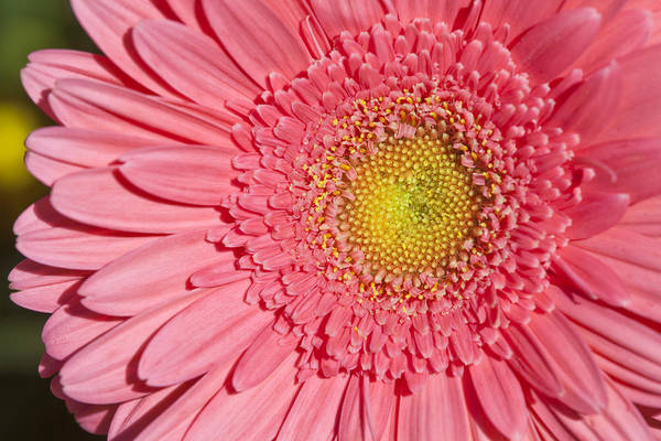 Blooming Poster featuring the photograph Pink Gerber by Al Hurley