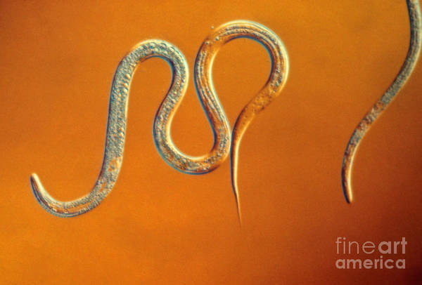 Nematode Poster featuring the photograph Vinegar Eel by Eric V. Grave