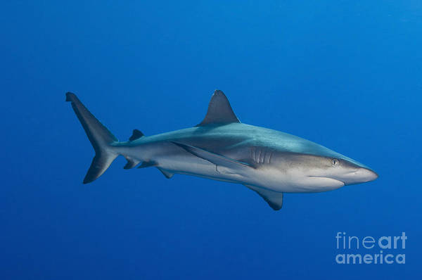 Fish Poster featuring the photograph Gray Reef Shark, Kimbe Bay, Papua New by Steve Jones