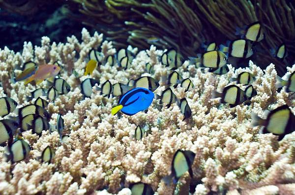 Palette Surgeonfish Poster featuring the photograph Tropical Reef Fish by Georgette Douwma