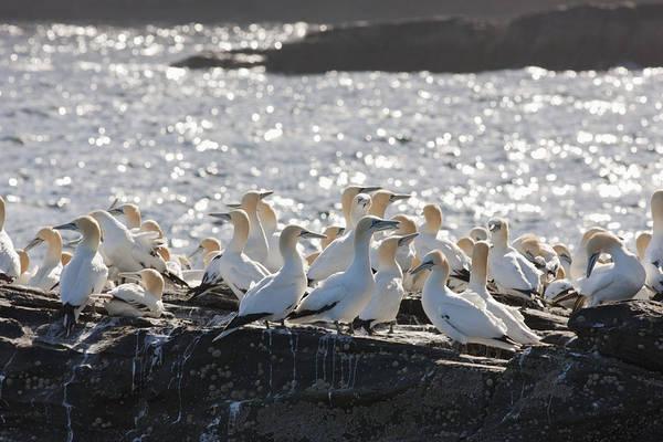 Seabird Poster featuring the photograph A Flock Of Gannets Standing On A Rock by John Short