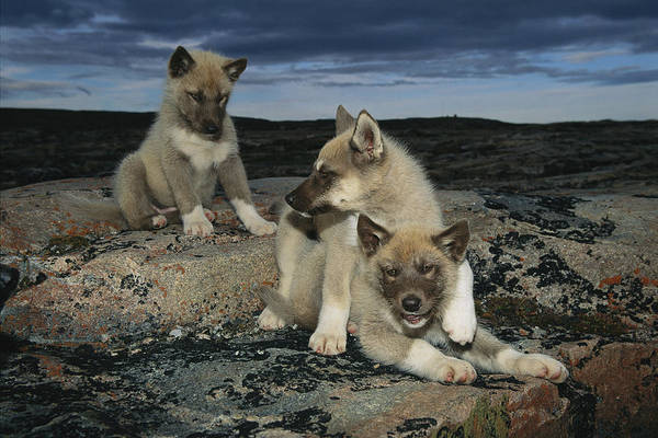 North America Poster featuring the photograph A Trio Of Playful Husky Puppies by Paul Nicklen
