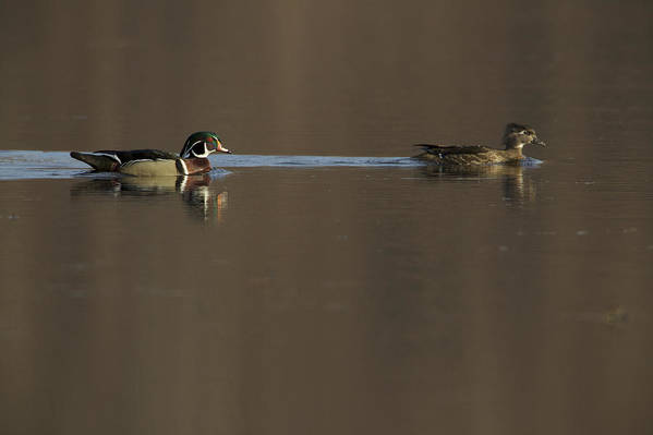 Wood Duck Poster featuring the photograph A Wood Duck Aix Sponsa Pair by Tim Laman