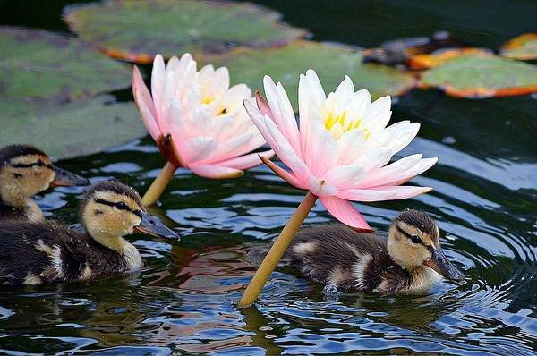 Ducklings Poster featuring the photograph Afloat Among Lillies by Fraida Gutovich