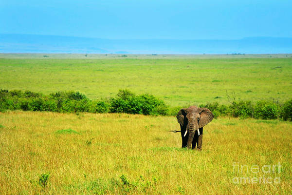 Africa Poster featuring the photograph African Elephant In The Wild by Anna Omelchenko