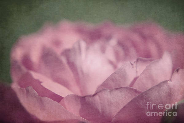floral Photographs Poster featuring the photograph Antique Pink by Aimelle