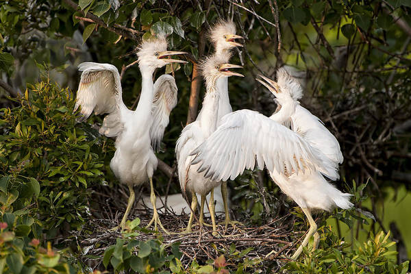 Little Blue Heron Chicks Poster featuring the photograph Barbershop Quartet by Bonnie Barry