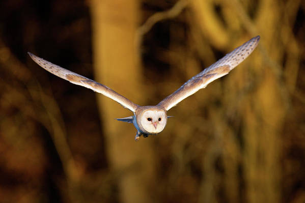 Horizontal Poster featuring the photograph Barn Owl In Flight by MarkBridger