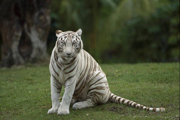 Mp Poster featuring the photograph Bengal Tiger Panthera Tigris Tigris by Konrad Wothe