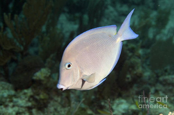 Blue Tang Fish Poster featuring the photograph Blue Tang On Caribbean Reef by Karen Doody