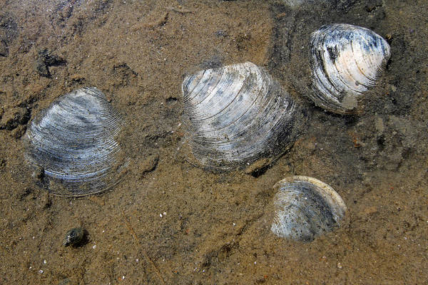 Clam Shell Poster featuring the photograph Cape Cod Clam Shells by Juergen Roth