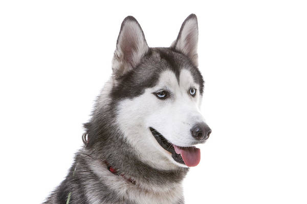 Horizontal Poster featuring the photograph Close-up Of Siberian Husky by Lane Oatey/Blue Jean Images