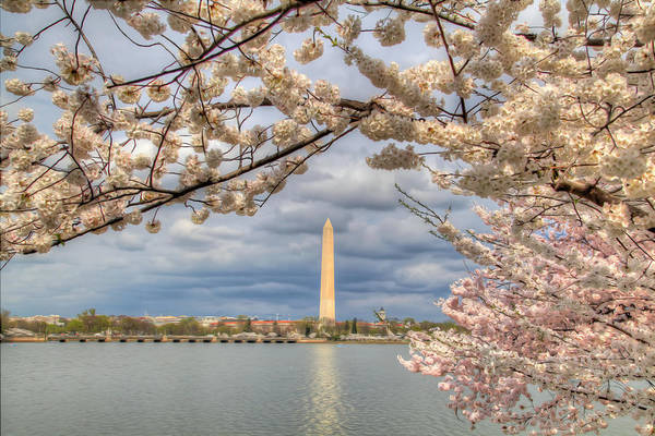 Metro Poster featuring the digital art Digital Liquid - Cherry Blossoms Washington Dc 4 by Metro DC Photography