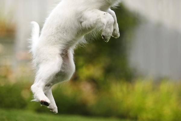 Animals Poster featuring the photograph Dog Jumps by Richard Wear