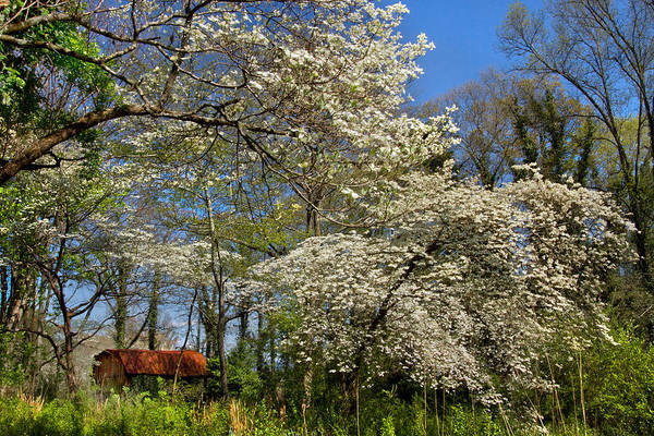 Barn Poster featuring the photograph Dogwood Grove by Debra and Dave Vanderlaan