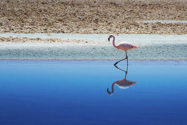 Horizontal Poster featuring the photograph Flamingo by MaCnuel