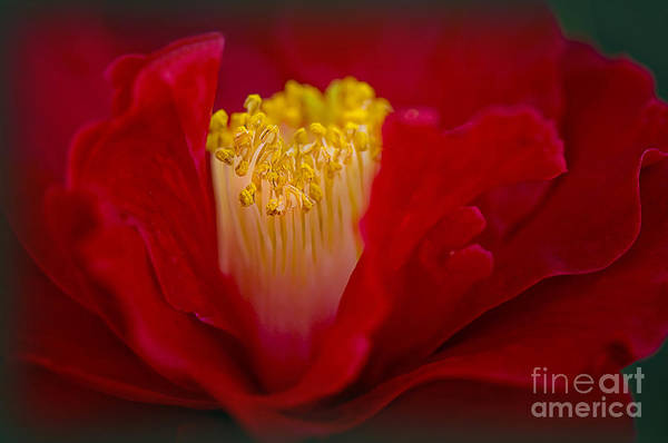 Camellia Poster featuring the photograph Folds Of Red by Jacky Parker