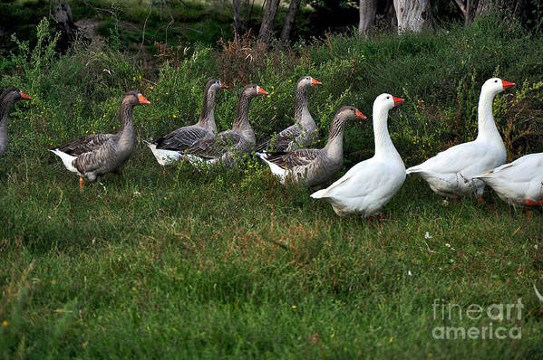 Photography Poster featuring the photograph Gaggle Of Geese by Kaye Menner